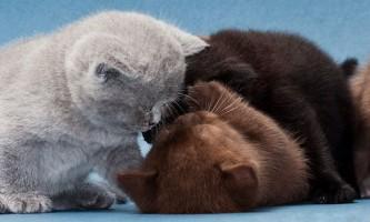 Як перевести кошеня чи дорослу кішку на сухий корм