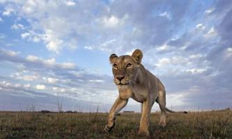 Як перевозять зебр