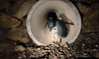 Полюючи під водою, пінгвіни переключаються на бескислородное дихання