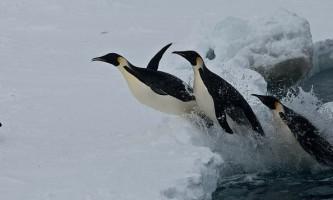 Як пінгвіни оцінюють час занурення