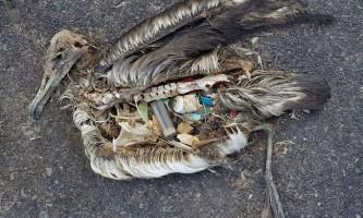 Як пластик вбиває птахів: «говорять» фото кріса джордана