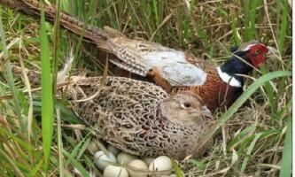 Як спіймати фазана без зброї: основні способи