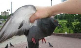 Як спіймати голуба на вулиці за допомогою пастки або голими руками