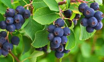 Як посадити і виростити іргу в вашому саду