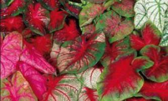 Як посадити і виростити каладиум будинку, поради по догляду за тропічною рослиною