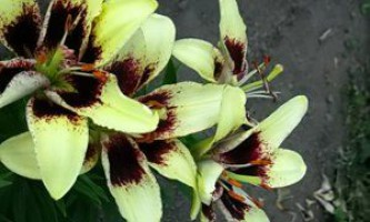Як посадити лілію, особливості догляду в відкритому грунті