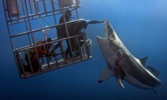 Як помацати білу акулу