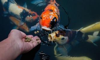 Як правильно годувати акваріумних рибок