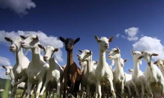 Як правильно годувати козу?
