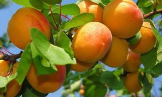 Як правильно обрізати абрикос