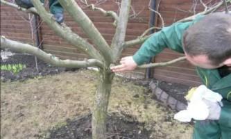 Як правильно обрізати дерева взимку