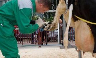 Як правильно обрізати коровам копита