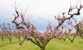 Як правильно обрізати персикові дерева