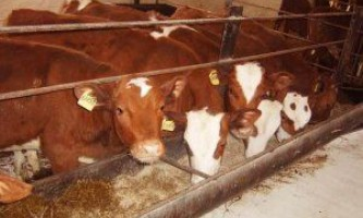 Як правильно відгодовувати велику рогату худобу