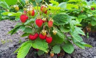 Як правильно посадити полуницю, кращі способи посадки