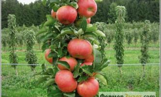 Як при належному обслуговуванні та обрізку колонних яблунь
