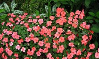 Як правильно вирощувати бальзаміни в саду
