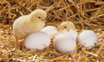 Як правильно вирощувати курчат