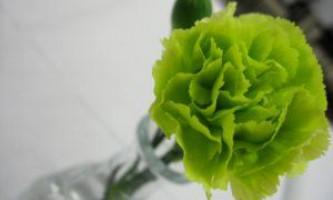 Як правильно вирощувати садову гвоздику