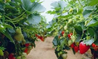 Як правильно виростити здорову і смачну полуницю