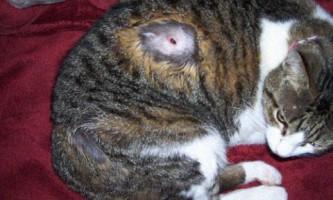 Як правильно витягнути кліща у кішки в домашніх умовах