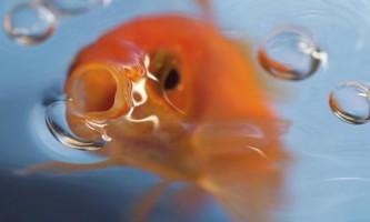 Як приготувати рибкам смачний корм