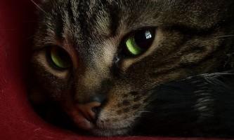Як застосовувати вазелінове масло при запорах у кішок?