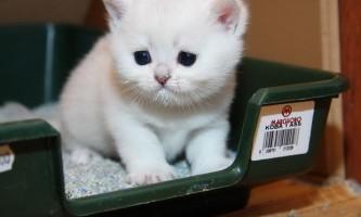 Як привчити кошеня до туалету (лотку): інструкція для власників!