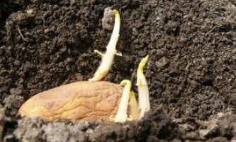 Як пророщувати картоплю перед висадкою?
