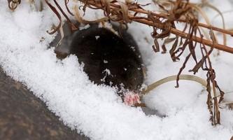 Як проводить зиму кріт