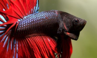 Як розмножуються акваріумні півники?