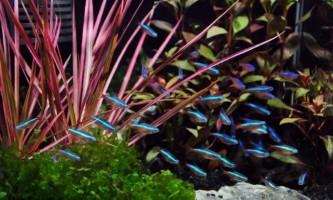 Як розмножуються рибки неони