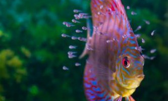 Як розмножуються риби