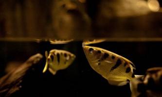 Як риби-бризкуни добувають їжу