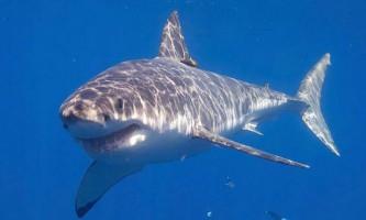 """""""Щит"""" проти акул стримує до 90% атак небезпечних тварин"""