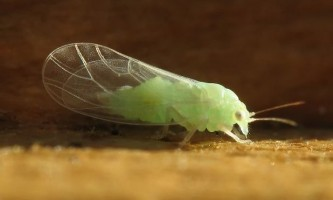 Як врятувати яблуні і груші від шкідника медяниці