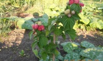Як доглядати і садити малинове дерево. Розмноження. Фото.