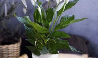 Як доглядати за спатіфілума, правила вирощування квітки в домашніх умовах