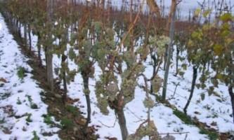 Як укрити молодий кущ винограду на зиму?