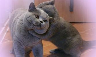Як уживаються дві британські кішки в будинку