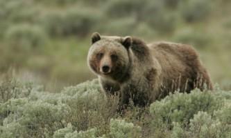Як вовки допомогли вижити ведмедям-грізлі