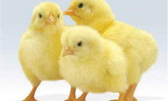 Як вибрати курчат перед покупкою