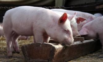 Як вибрати комбікорм для свиней?