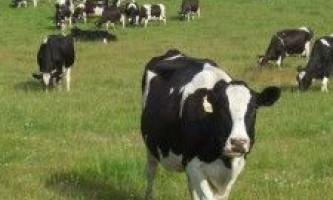 Як вибрати корову?