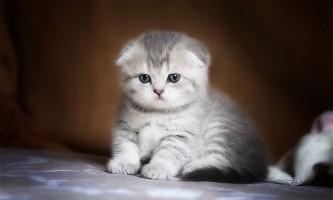 Як вибрати шотландського висловухого кошеня?