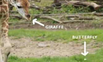 Маленький жираф барінго забавно ловить метелика