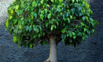 Як вилікувати фікус, основні види хвороб і шкідників кімнатної рослини
