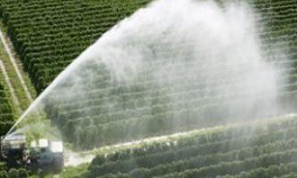 Як виконати осінню підгодівлю винограду