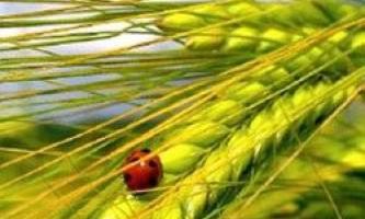 Як вирощувати пивоварний ячмінь?