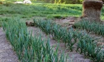 Як виростити багатий урожай озимого часнику